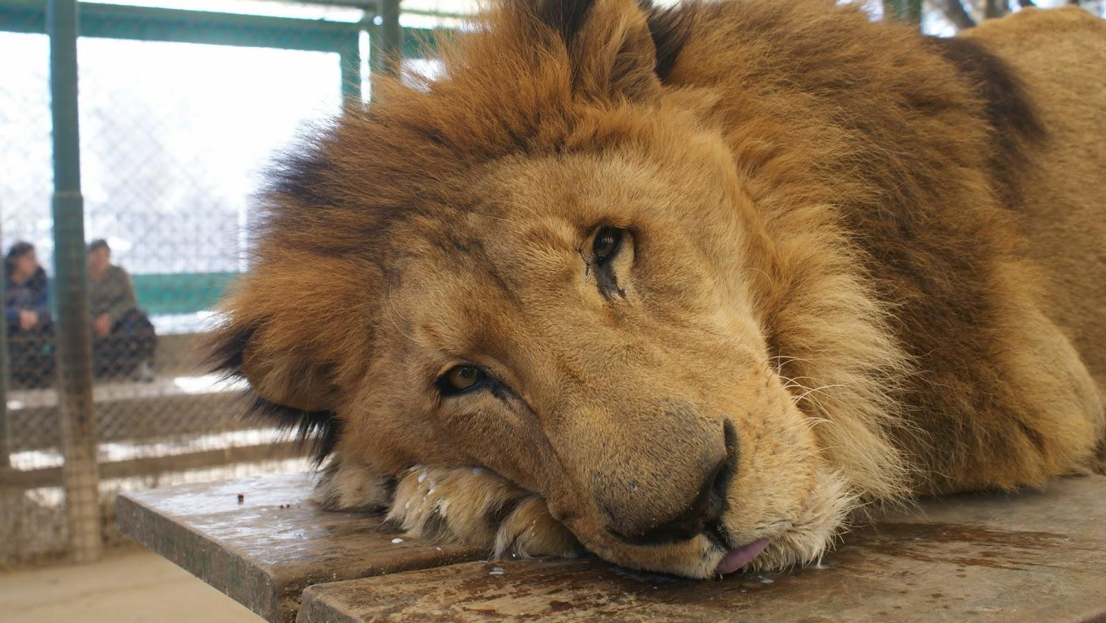 Leão dopado